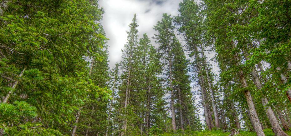 evergreens on wheeler's peak, new mexico